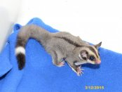 Ziggy and Kyler's ringtail daughter!