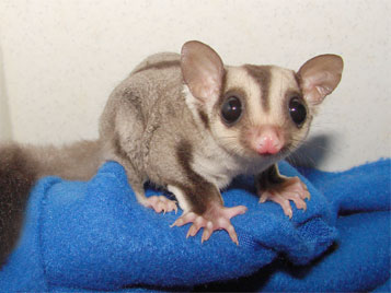 sugarglider-care.jpg